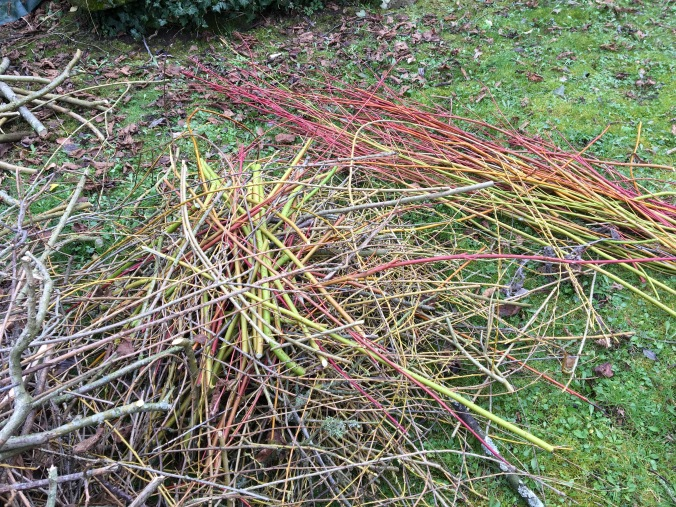 cornus clippings