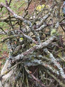 Lichen covered branches